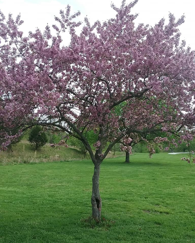 Pink and purpose tree